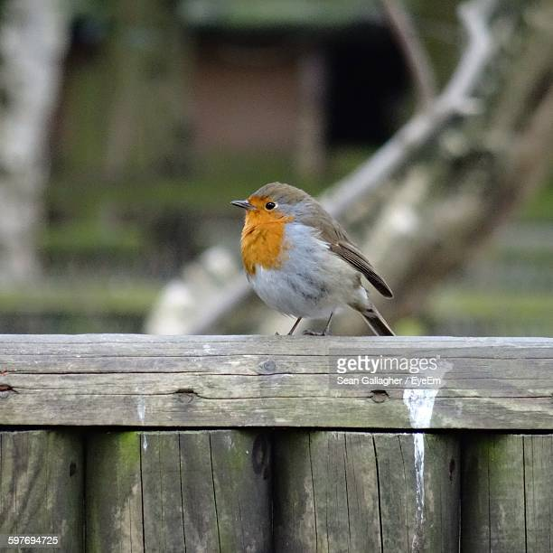 Close-Up Of Robin On Wooden Fence