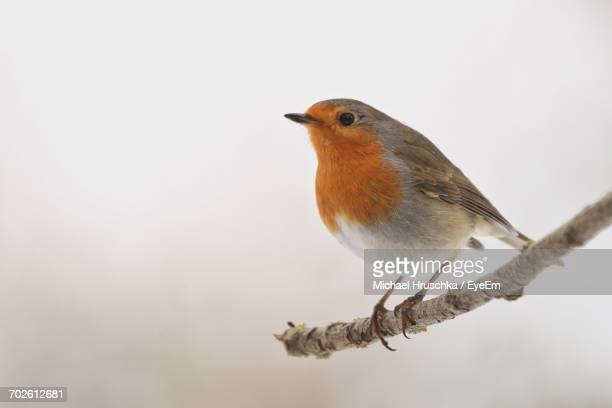close-up of robin perching on branch - michael hruschka stock pictures, royalty-free photos & images