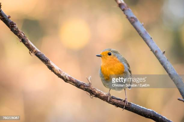 close-up of robin perching on branch - robin stock pictures, royalty-free photos & images