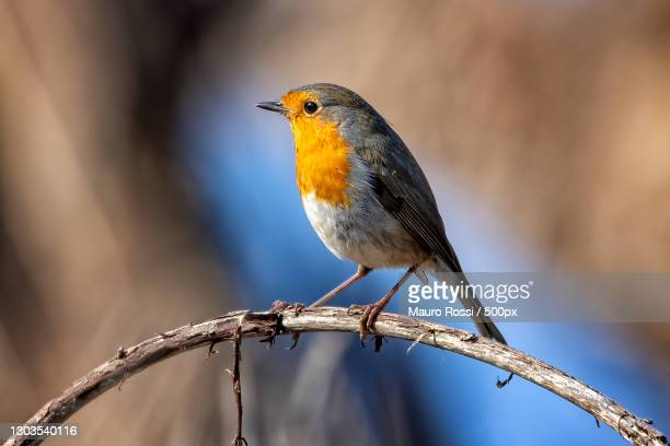 close-up of robin perching on branch,cuneo,italy - cuneo stock pictures, royalty-free photos & images