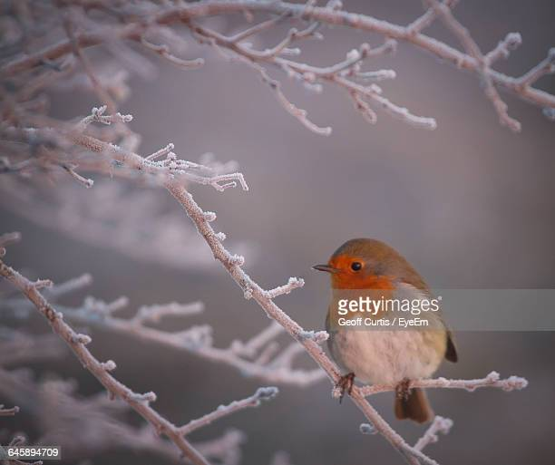 Close-Up Of Robin Perching On Frozen Tree