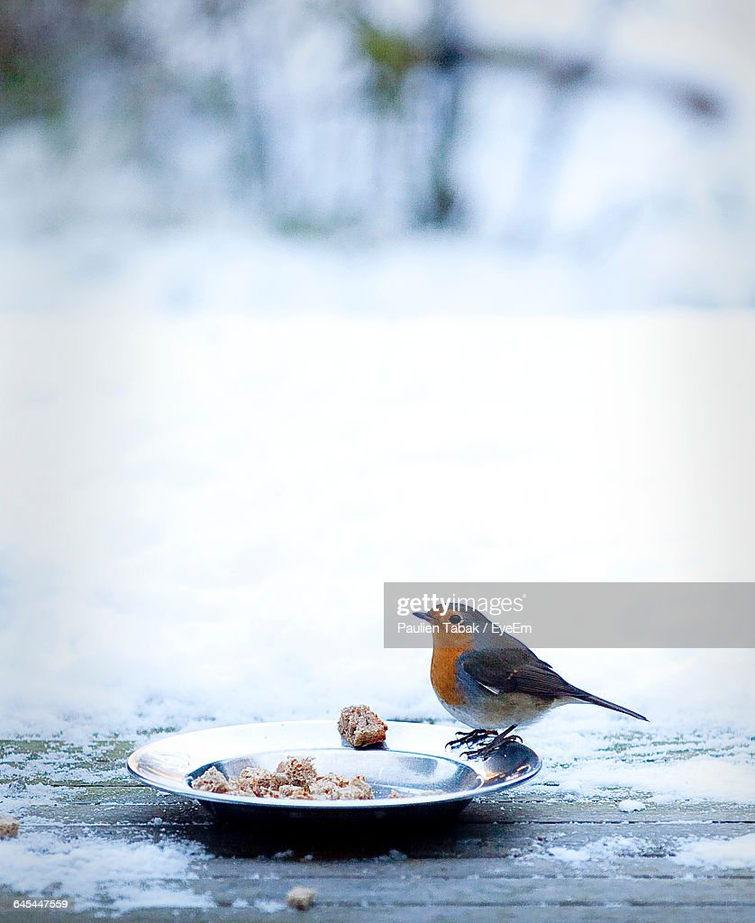 Close-Up Of Robin Perching On Plate With Food : Stockfoto