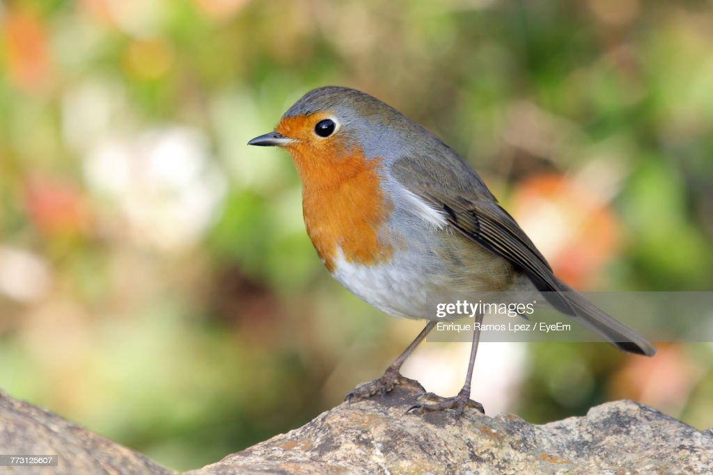 Close-Up Of Robin Perching Outdoors : Photo