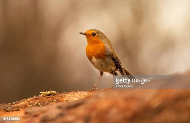 close-up of robin - pettirosso foto e immagini stock
