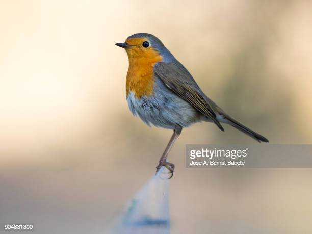 Close-Up Of Robin (Erithacus rubecula), standing, on a natural green and yellow background. Spain, Europe.