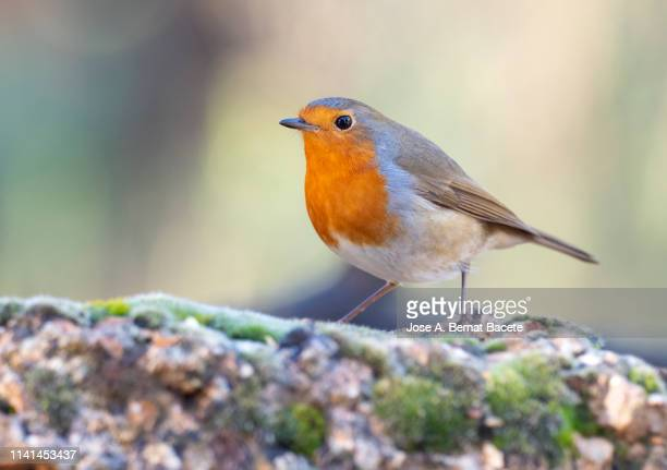 close-up of robin (erithacus rubecula), standing on a rock  with lichens in the nature. - 止まる ストックフォトと画像