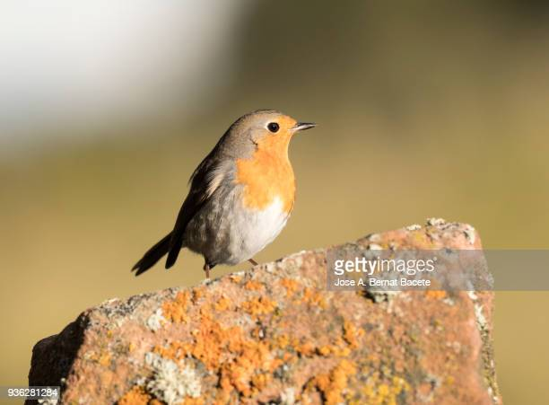 Close-Up Of Robin (Erithacus rubecula), standing on a rock  with lichens, on a natural green and yellow background. Spain, Europe.