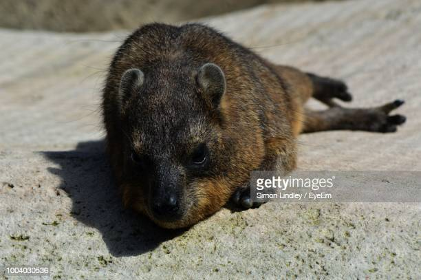 Close-Up Of Rock Hyrax On Ground
