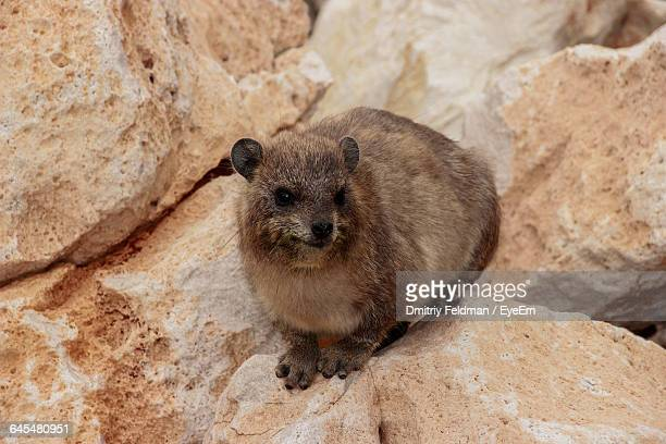 Close-Up Of Rock Hyrax