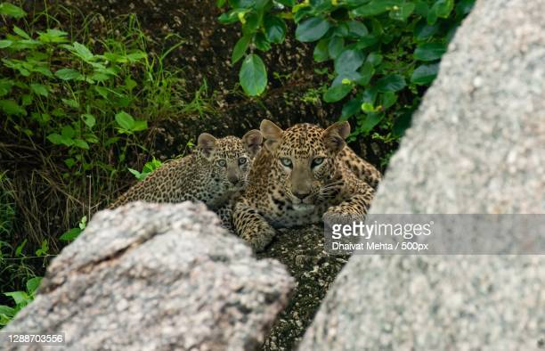 close-up of rock on rock,jawai bandh,rajasthan,india - leopard stock pictures, royalty-free photos & images