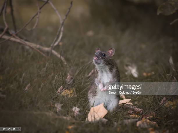 close-up of rodent on field - colbing stock pictures, royalty-free photos & images