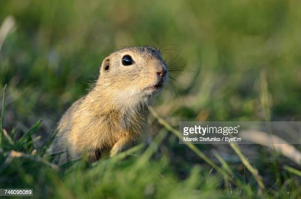 close-up of rodent on field - marek stefunko - fotografias e filmes do acervo