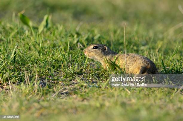 close-up of rodent on grassy field - marek stefunko stockfoto's en -beelden