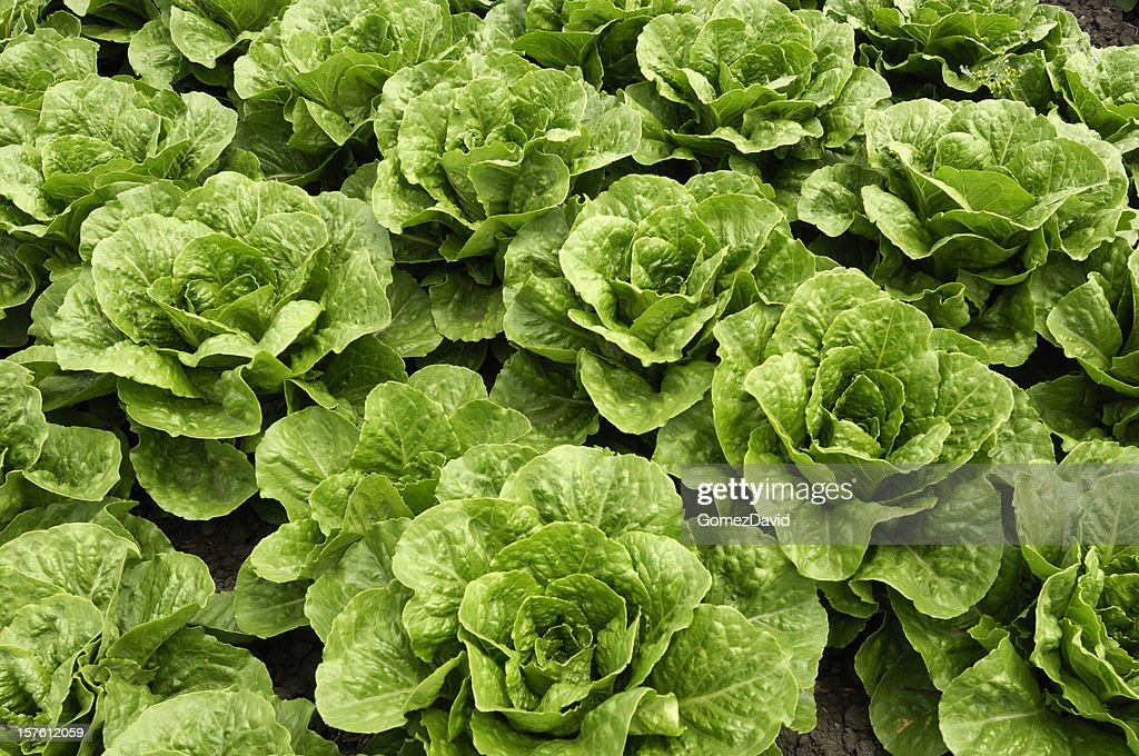 Close-up of Romaine Lettuce Growing in Field : Stock Photo