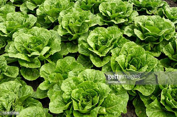 Close-up of Romaine Lettuce Growing in Field