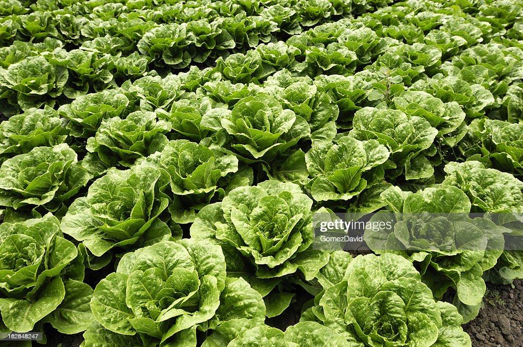 Close-up of Romaine Lettuce : Stock Photo