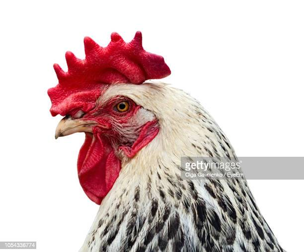 close-up of rooster against white background - gallo foto e immagini stock