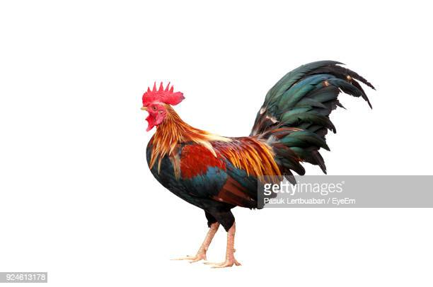 Close-Up Of Rooster Against White Background