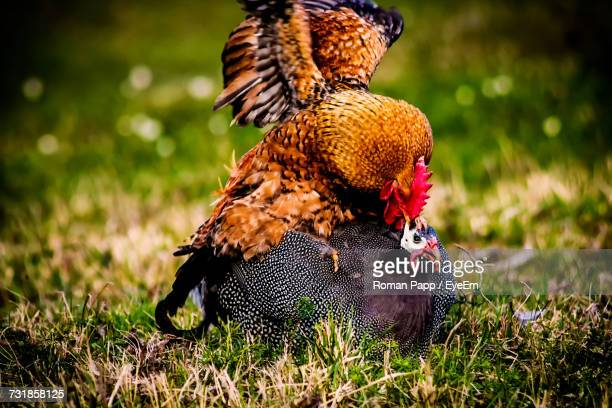 Close-Up Of Rooster And Chicken Mating