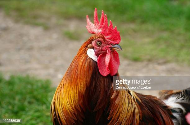 close-up of rooster on field - male animal stock pictures, royalty-free photos & images