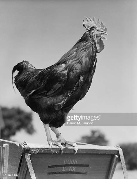 close-up of rooster or cock - {{ contactusnotification.cta }} stockfoto's en -beelden