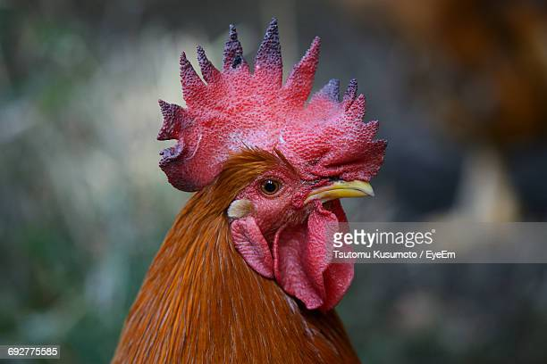 close-up of rooster - cockerel stock pictures, royalty-free photos & images