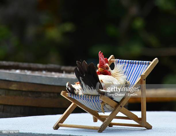 close-up of rooster relaxing on chair - funny rooster stock photos and pictures