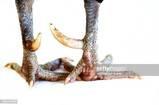Close-up of Rooster spurs and feet