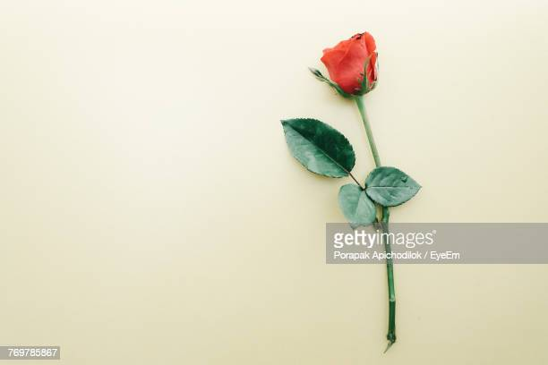 Close-Up Of Rose Against Beige Background