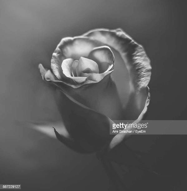 Close-Up Of Rose Against Gray Background