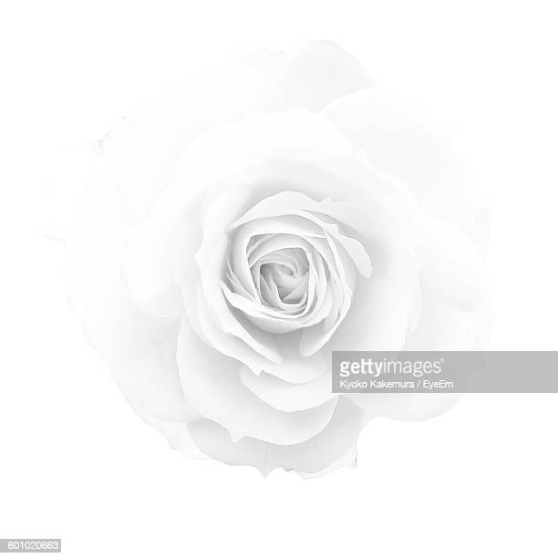 Single flower stock photos and pictures getty images close up of rose against white background mightylinksfo