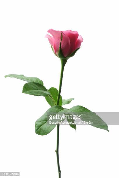 close-up of rose against white background - pink flowers stock pictures, royalty-free photos & images