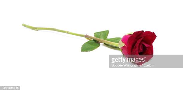 close-up of rose against white background - red roses stock photos and pictures