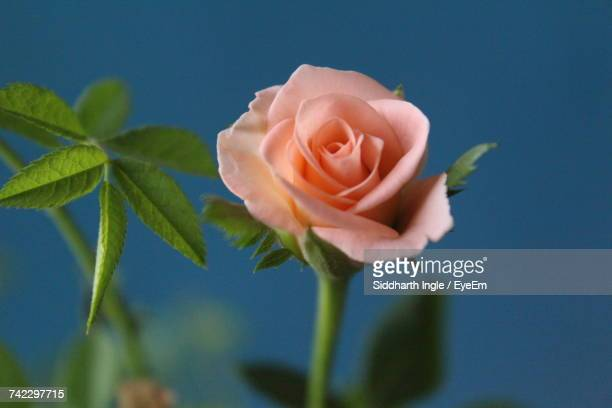 Close-Up Of Rose Blooming Against Sky