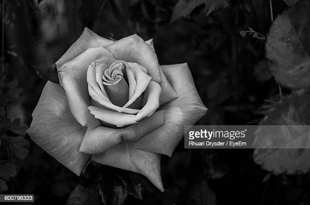 Black and white rose photography pictures and images rf close up of rose blooming in garden