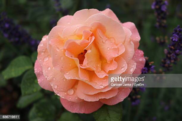 close-up of rose blooming outdoors - jena rose stockfoto's en -beelden