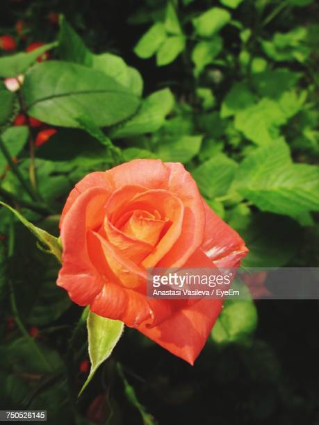 close-up of rose blooming outdoors - anastasi foto e immagini stock