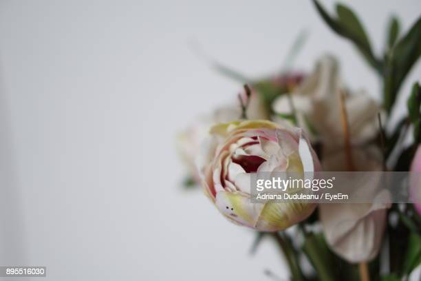 close-up of rose blooming outdoors - adriana duduleanu stock photos and pictures