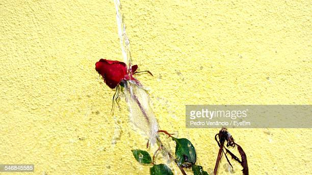 close-up of rose crushed to the wall - crushed leaves stock pictures, royalty-free photos & images