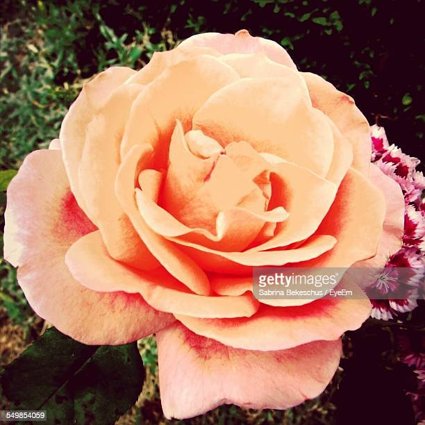 Close-Up Of Rose Flower Blooming On Field