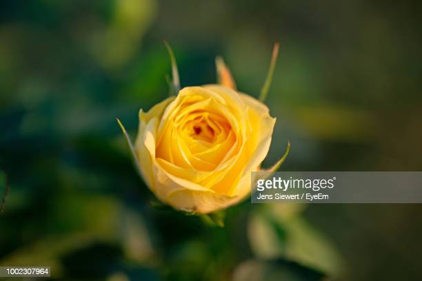 close-up of rose flower - jens siewert stock-fotos und bilder