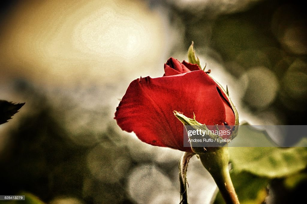 Close-Up Of Rose Flower : Stock Photo