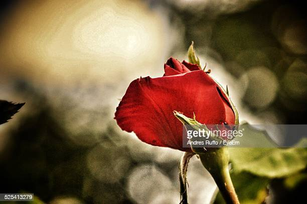 close-up of rose flower - andres ruffo stock pictures, royalty-free photos & images