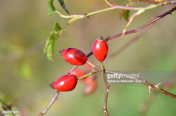 Close-Up Of Rose Hip Growing On Plant