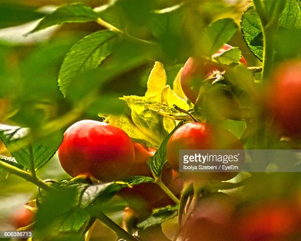 Close-Up Of Rose Hip Growing On Tree