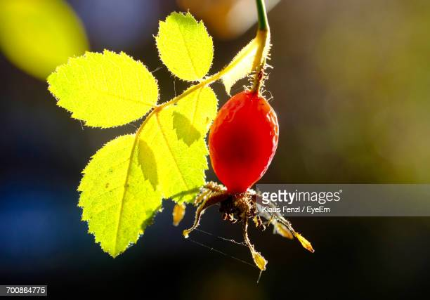 Close-Up Of Rose Hip On Sunny Day
