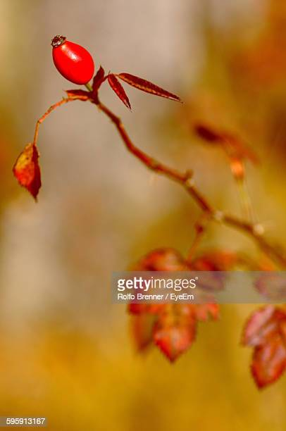 close-up of rose hip - dog rose stock photos and pictures