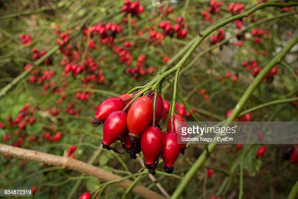 Close-Up Of Rose Hips Growing On Tree
