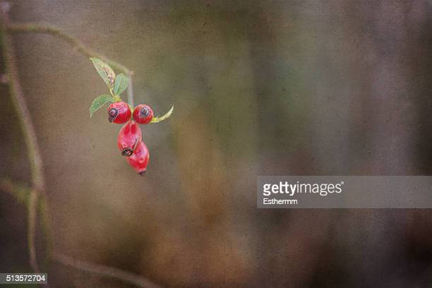 Close-Up Of Rose Hips Growing Outdoors