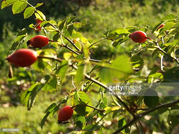 close-up of rose hips on branch - dog rose stock photos and pictures